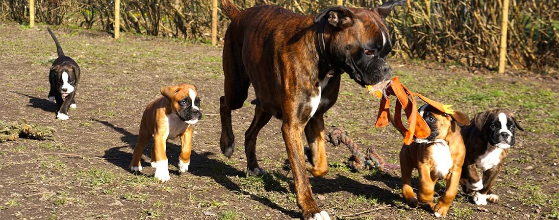 Boxer hvalpe